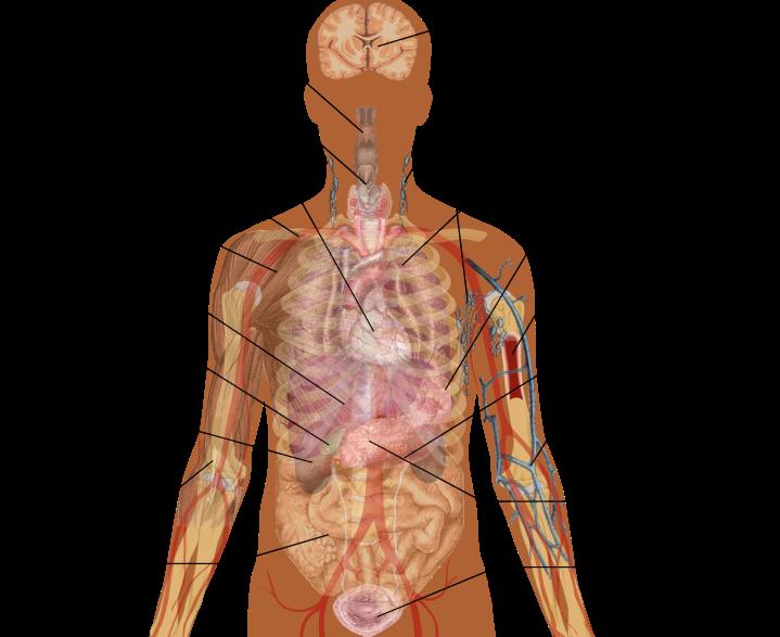 internal_organs_cropped