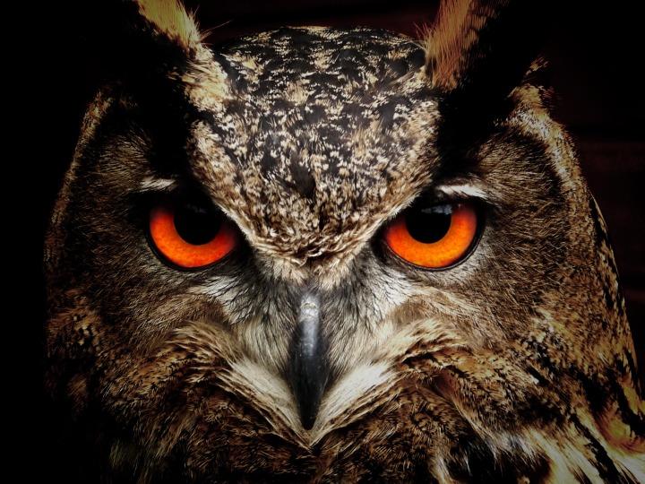 severe_owl_publicdomain