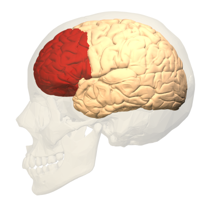 prefrontal_cortex_left_-_lateral_view