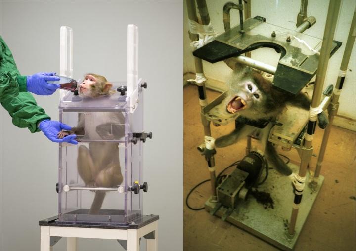 Rhesusaffe im Primatenstuhl bekommt eine Belohnung.